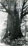 The Big Redwood in Elk Grove Flat
