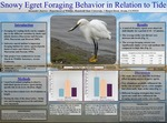 Snowy Egret Foraging Success in Relation to Tide Levels by Alexander Juarros