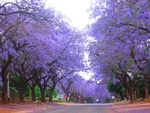 Jacaranda Trees, South Africa by Kelly Drew and Peter Drew